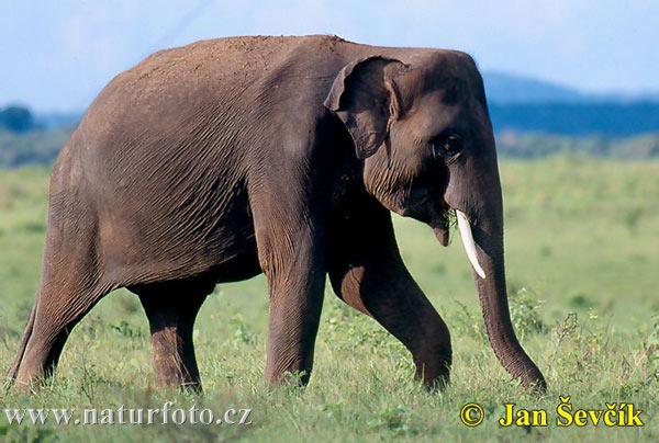 Elephants can draw